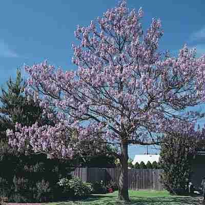 royal-empress-tree-seeds-paulownia-tomentosa-100-seeds-jardin-pelouse-entretien