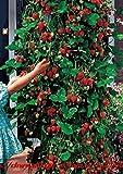 Portal Cool 300 Stücke Chwy Red Klettern Erdbeer Bonsais, Garten Obstpflanze, Süß Und Delic