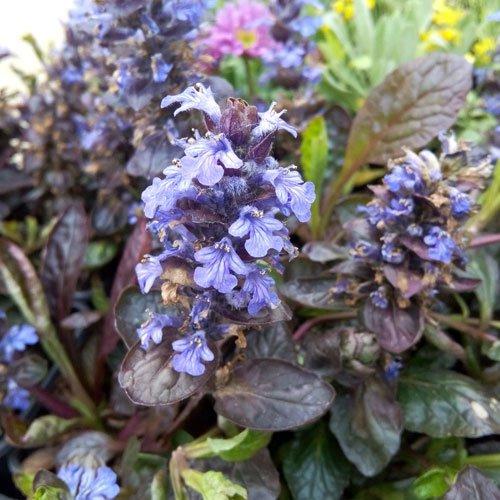hortiflor-bureau-ajuga-reptans-atropurpurea-bugle-bleu-ajuga-atropurpurea-evening-glow-lot-de-3-pied