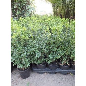 inter flower 50 buchsbaum pflanzen im topf buxus sempervirens circa 15 20 cm buchs. Black Bedroom Furniture Sets. Home Design Ideas