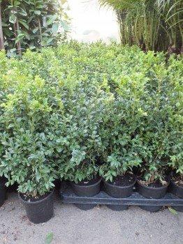 25 Buchsbaum 40 cm+/-