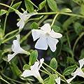 Vinca minor-kleines Immergrün, Farbe: weiß, im 9-cm-Topf, 4-er-Set von Dalhoff auf Du und dein Garten