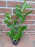 30 Kirschlorbeer, Prunus Novita, Höhe: 30-40 cm ab Topf, ideal als Hecke