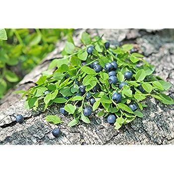 Blueberry Amerikanische Heidelbeere 15 Samen