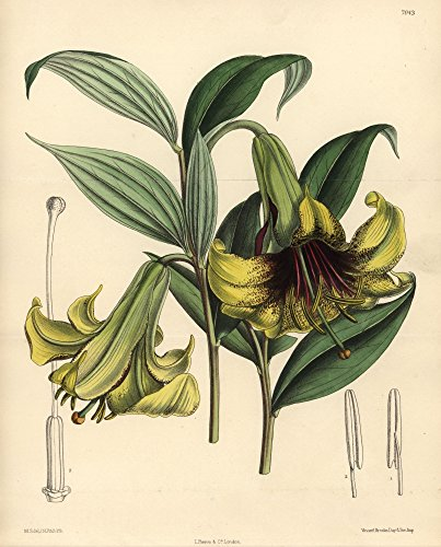 ® Florilegius / Mary Evans - Lilium Nepalense Yellow Lily Native To The Himalayas Kunstdruck (60,96 x 91,44 cm)