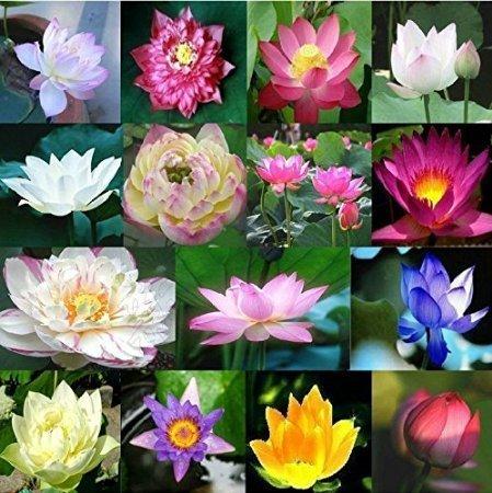 Rocita Lotus Samen Mix 25Kapseln