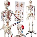 TecTake Squelette Taille Grandeur Nature Modèle Anatomique...