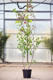Echte Felsenbirne 60-100 cm Busch für Sonne-Halbschatten Zierstrauch grünes Laub Gartenpflanze winterhart 1 Pflanze im Topf