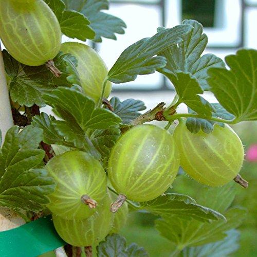 Grüner Garten Shop Mucurines grüne Stachelbeere sehr süß geringe Säure Busch ca. 30-50 cm im 3 Liter Topf