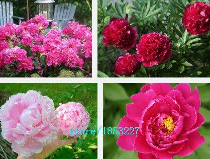 10 fleurs Graines Fragrant Graines de pivoine Mixed Seeds Couleur Pivoine Fleur Graines Bonsai Perennial Jardin des plantes