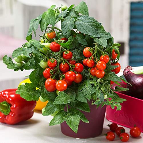 Qulista Samenhaus - Rarität Kirsch-Tomate Orange Paruche aromatisch, veredelt Gemüsepflanzen lecker und ertragreich winterhart mehrjährig Für Kübel, Freiland und Gewächshaus - Cherry-tomaten Orange