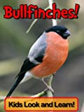 Bullfinches! Learn About Bullfinches and Enjoy Colorful Pictures - Look and Learn! (50+ Photos of Bullfinches)