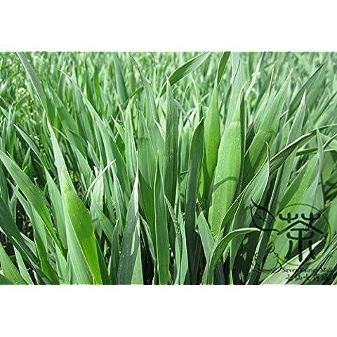 Ampliamente plantados Triticum aestivum Semillas 600pcs, Semillas Hierbas anuales comunes de grano de trigo, semillas de la familia Poaceae Trigo Pan Xiao Mai