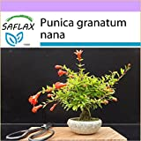 SAFLAX - Melograno nano - 50 semi- Camera Bonsai - Punica granatum nana