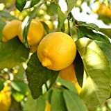 YouGarden Citrus Lemon Tree