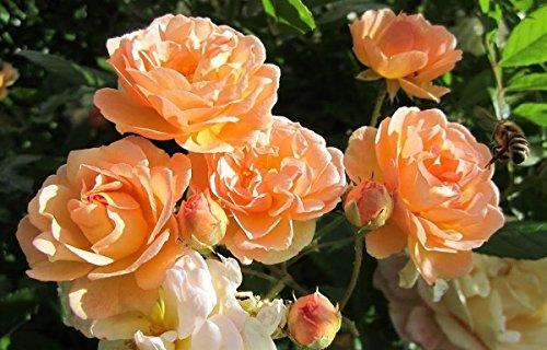 Rosarot Pflanzenversand p195