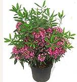 Kalmia angustifolia 'rubra' - rotes Lorbeerröslein winterharter immergrüner blühender Strauch 19 cm Topf