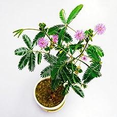 Vamsha Nature Care Touch Me Not (Chui Mui) Mimosa pudica, The Medicinal Ayurvedic Plant