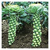 AMERICAN Heirloom heritage BRUSSELS SPROUTS LONG ISLAND IMPROVED 100 seeds. Certified French organic