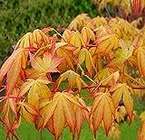 Acer Palmatum Katsura - oranger japanischer Fächerahorn - verschiedene Größen (50-60cm - Topf 2,5Ltr.)
