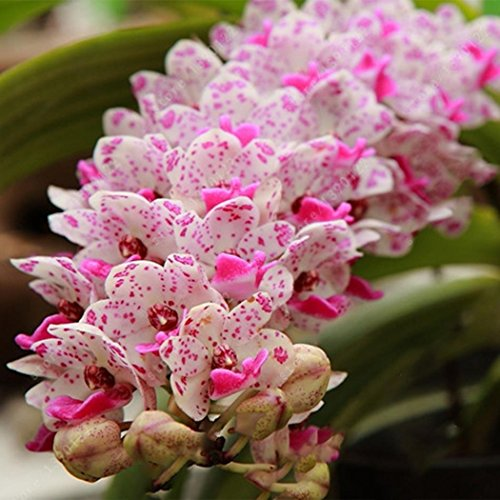 Ncient Graines de Fleurs - Cymbidium Seeds - Graines Semence Adorable Flower Graines parfumées Fleurs (100 pcs)