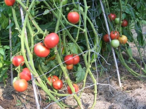 Tomate Arkansas Traveler 50 graines non-OGM