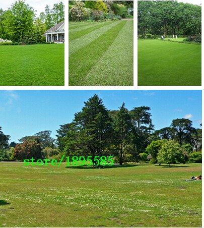 Prato seminale semi di erba verde fresco speciale morbida Runner prato seminale perenne sempreverde 200 particelle / un Pacchetto professionale