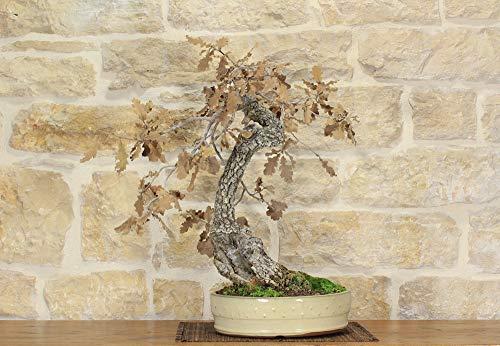 bonsai di quercia roverella (12)