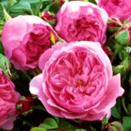 Tomasa Samenhaus- Selten Edelrose in Dunkel-Rot - Duftrose winterhart - Rosen-Blüte in Samt-Rot -Rose stark duftend Blumensamen Garten - Pflanzen in Top Qualität