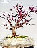 10 Semillas piezas de la flor del ciruelo, invierno Blooming fragante arbusto de flores de plantas resistentes al frío, interior / exterior Pot familiares de semillas fáciles de plantar