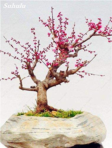10 Pcs Plum Graines de fleurs, hiver Blooming Fragrant Arbuste Fleur froide Hardy, Graine Pot d'intérieur / extérieur Famille Facile à Plante