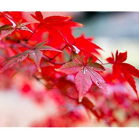 20 Semi / pack giapponese Red Acero ermetico pacchetto molto bello * Giappone Acero nuovi semi * regalo più misterioso - Red Fioritura Alberi