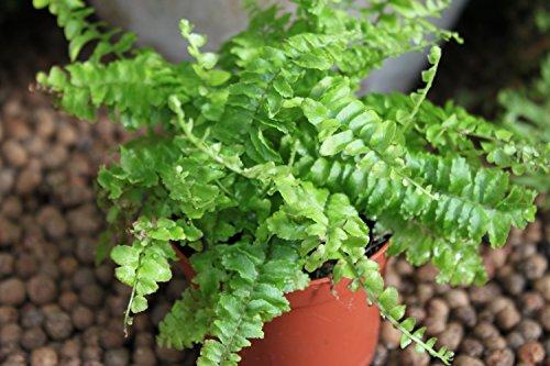 Zimmerpflanze – Nephrolepsis – Boston-Farn – Buschige Zimmerpflanze, ca. 45cm hoch - 2