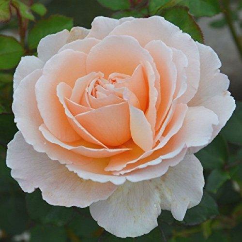 Rosarot Pflanzenversand p64