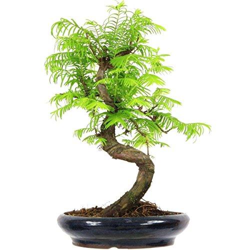 metasequoia-bonsai-10-ans-33cm