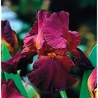 Iris germanica Dark Red / Iris germanica Dark Red - bulbo / tubérculo / raíz