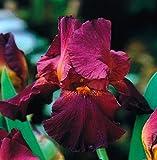 Iris Germanica Dark Red - 1 Blumenzwiebeln