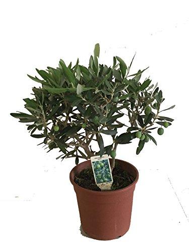 vivai gardenhome - olivo bonsai
