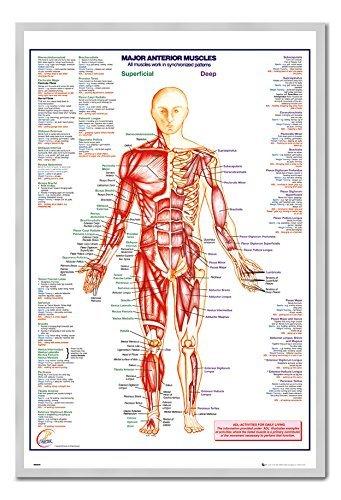 Menschlichen Körper Major Anterior Muskeln Poster Silber gerahmt & seidenmatt laminiert, 96,5x 66cm (ca. 96,5x 66cm)