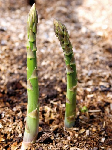 PREMIER SEEDS DIRECT - Asparagus - CONNOVERS Colossal - 300 Finest Seeds