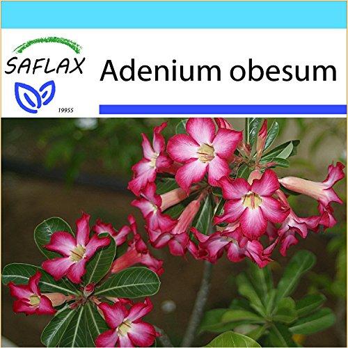 SAFLAX - Kit cadeau - Rose du désert - 8 graines - Adenium obesum