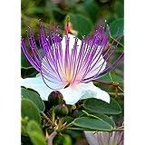 Tropica - Hierbas - Auténtica Alcaparra (Capparis spinosa) - 25 Semillas