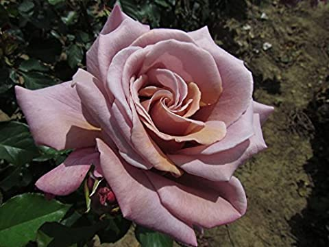 SIMPLY GORGEOUS - 4lt Potted Hybrid Tea Garden Rose Bush - Unusual Large Spiralled Blooms of Bronzed Lavender, Lilac and Pink - Fragrant