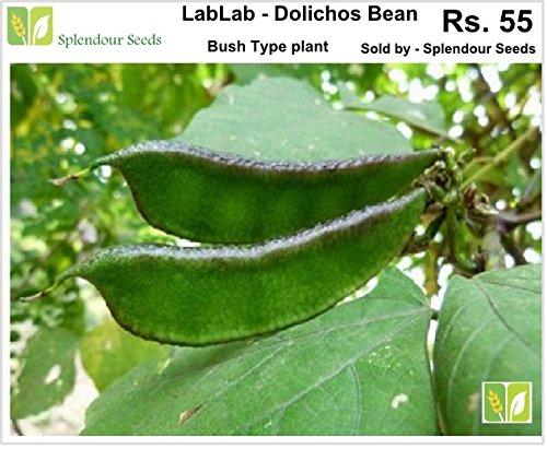 Lablab purpureus,Hyacinth,Dolichos bean,Chedi Avarai (20 seeds)