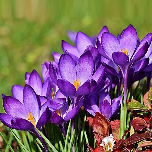 MEIGUISHA Gartensamen-100 Pcs Safrankrokus zwiebeln Pflanze Gemüse Blumensamen herbstblühend Krokus mit teuren Safranfäden exotische samen für Garten Balkon