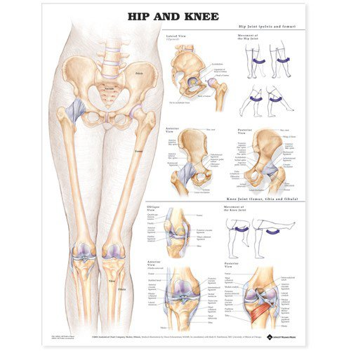Hip and Knee Anatomical Chart par  Anatomical Chart Company
