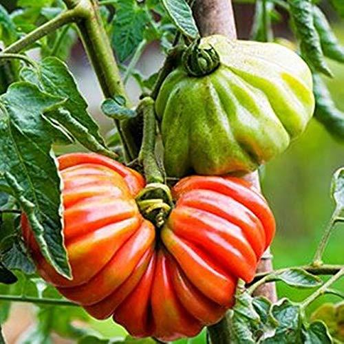 Pinkdose® Verkauf 100 Stücke Mix Farbe Tomatenpflanzen Vier Jahreszeiten Sukkulenten Verschönern Innenhof Obst Und Gemüse Bonsai: Multi-