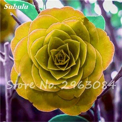 5 pièces rares Graines arc-en-Camellia fleurs, plantes en pot de bricolage, Lumière Parfumée Fleur intérieur, intérieur Bonsai planter des fleurs Semences 21