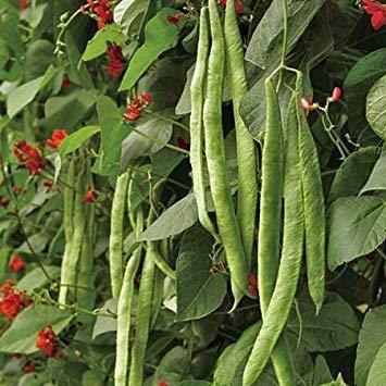 FERRY Keim Seeds: 50 Samen von Kaiser Runner Bean - Phaseolus Coccineus