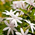 Fragrance Oil Jasmine 10ml Scented Fragrance For Candle Making, Soap Making & Bath Bombs by Cosy Owl